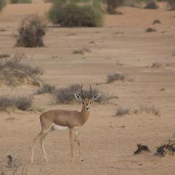 Al Maha Wildlife Reserve, Murquab
