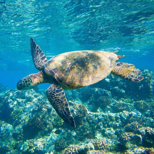 Tortugas marinas en la bahía Honaunau