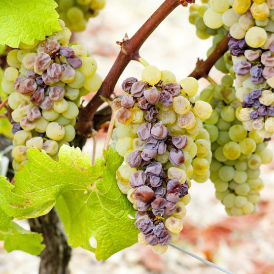 Wine tasting in Sauternes