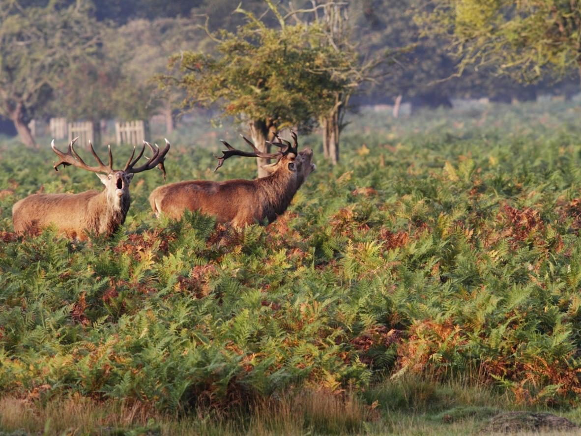 Keep an eye out for the wild deer of Richmond Park