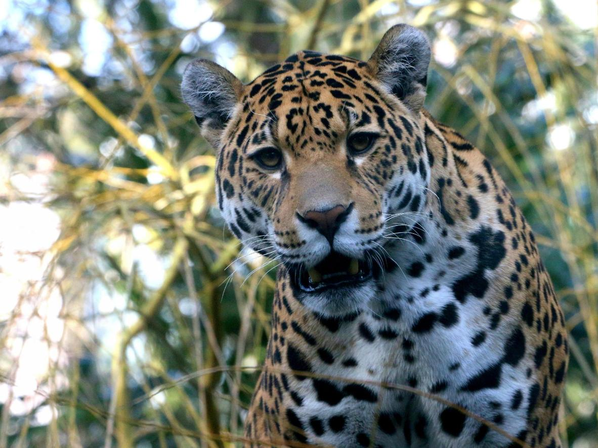 Volunteers help develop conservation policies to protect jaguars in Costa Rica