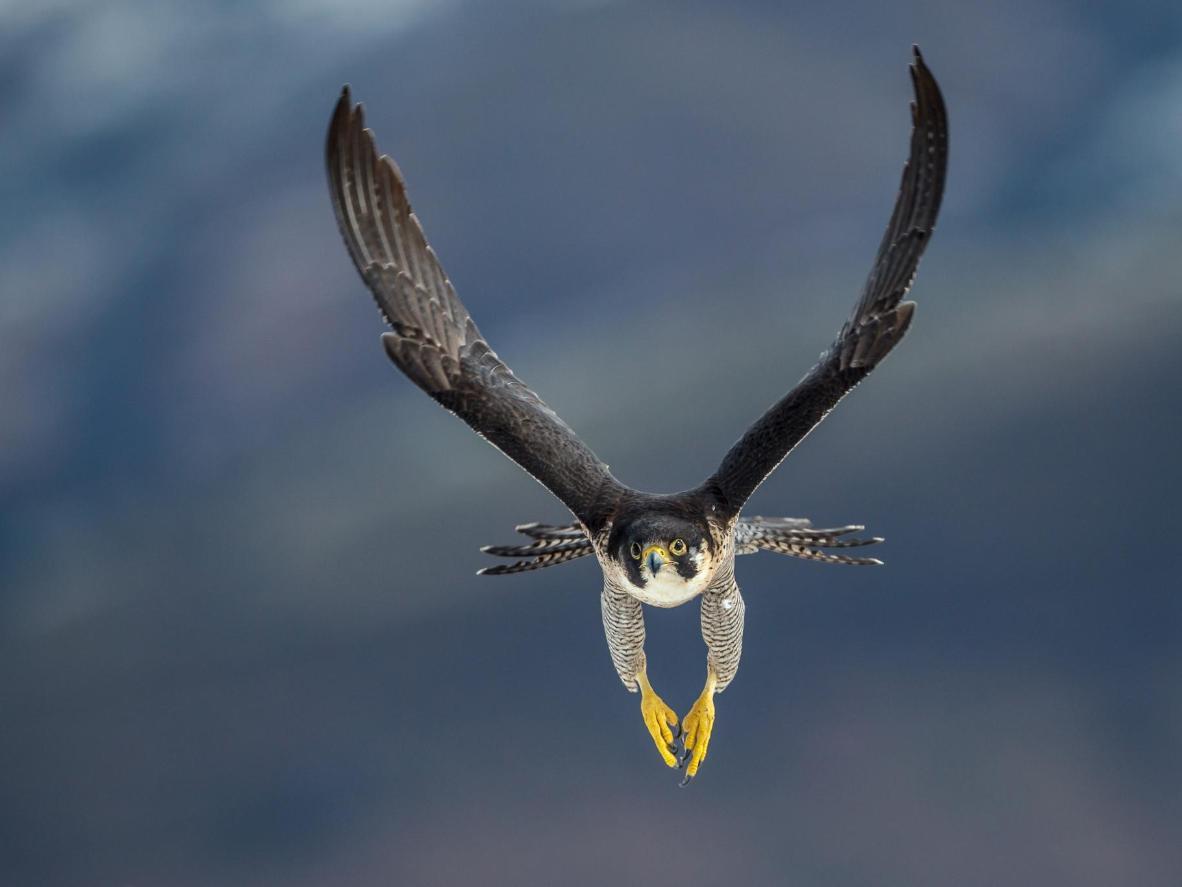 A peregrine falcon in search of prey