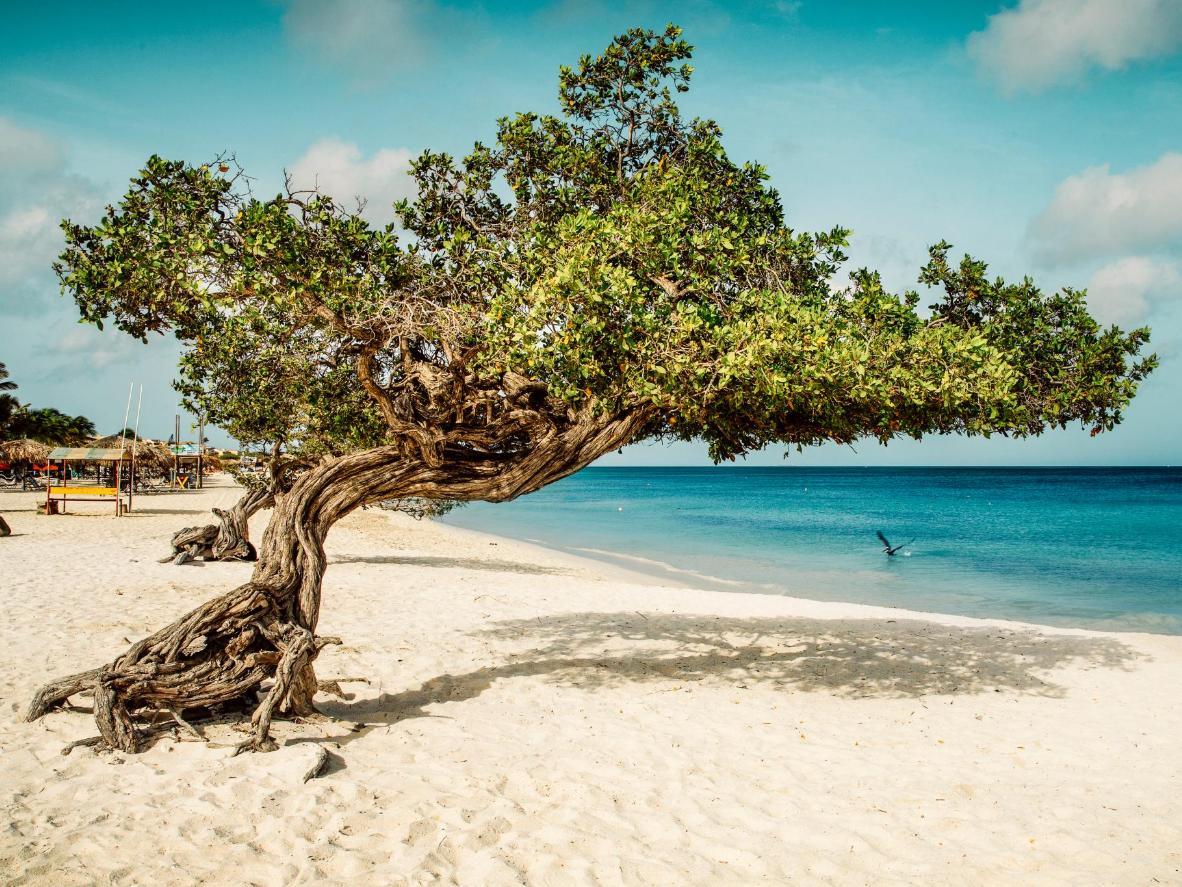 Aruba's native divi-divi trees, Eagle Beach