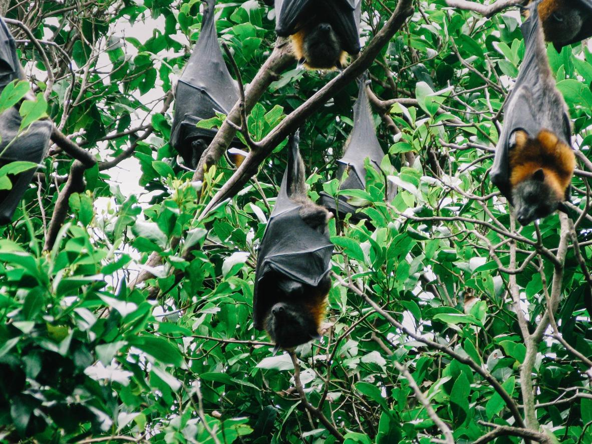 See for yourself why the largest species of bats is called the flying fox