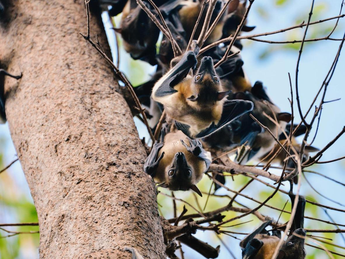 Plan your trip between October and December to see the millions of straw-colored fruit bats