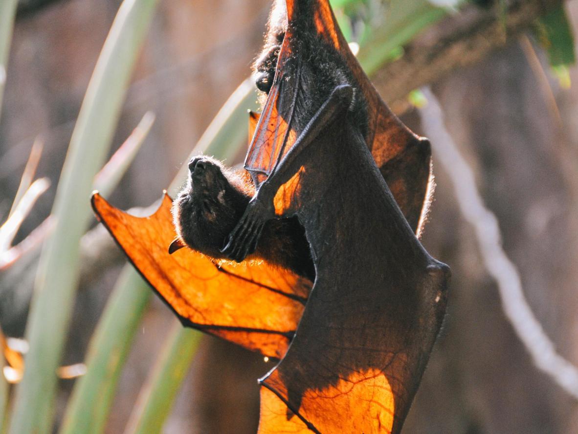 Hay miles de murciélagos que viven en las casas de murciélagos de la universidad