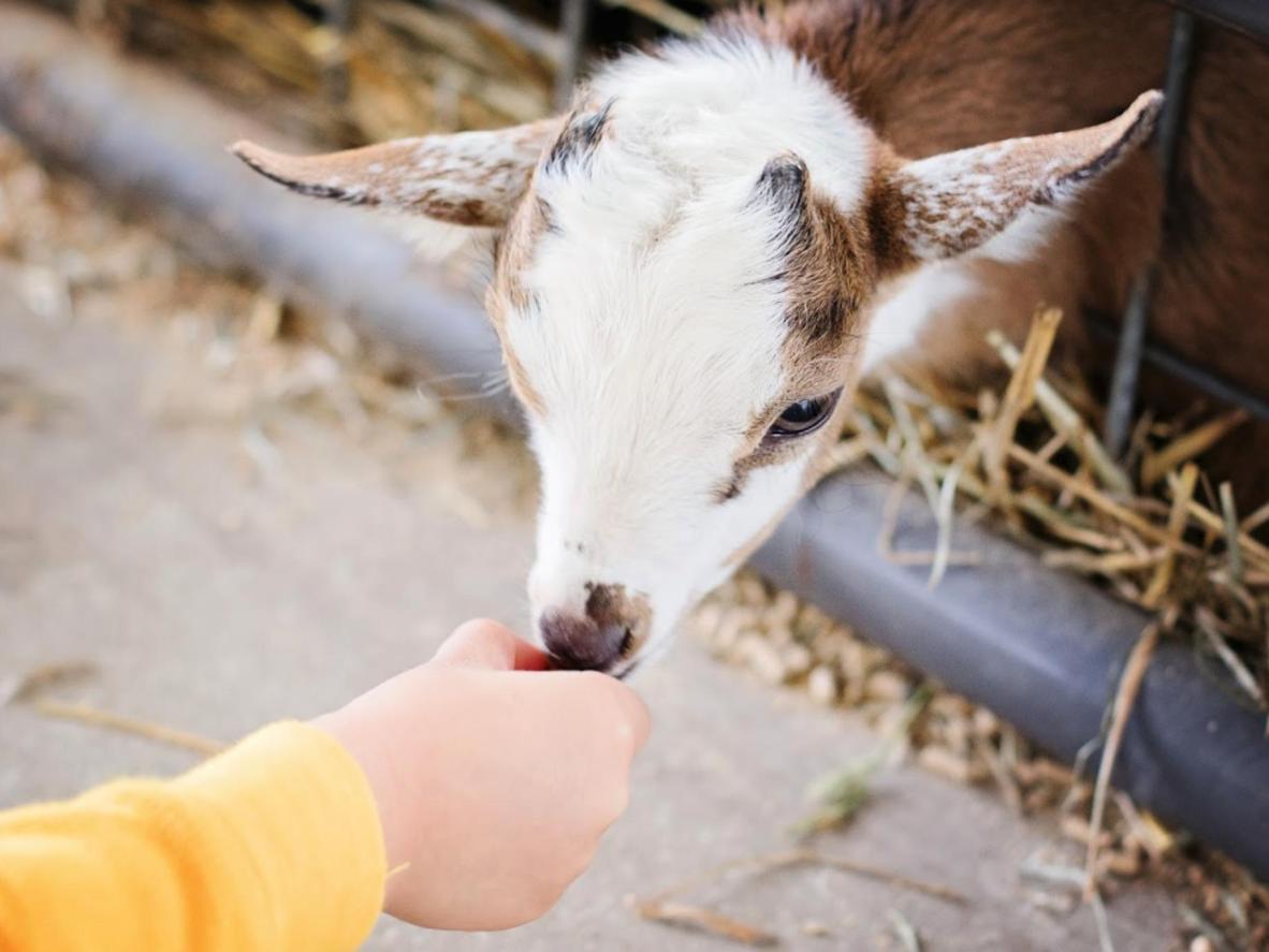 Gæsterne kan fodre gedekiddene