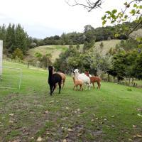 Grant and Sue's alpacas