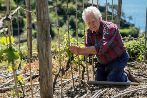 Beppe working in a terraced wine yard in Corniglia